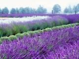 Lavender Field, Sequim, Washington, USA Fotografisk tryk af Janell Davidson