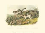 Marmot Squirrel Kunst af John James Audubon