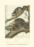 Racoon Plakater av John James Audubon