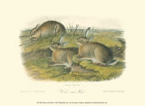 Wormwood Hare Prints by John James Audubon