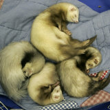 A Pack of Ferrets Clockwise from Top, Chewbacca, Hobart, Dixie B, Wolfgang Amadeaus Motzart Photographic Print by Carolyn Kaster