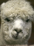 Zephyr Moon, a 2-Year-Old Alpaca, at the Vermont Farm Show in Barre, Vermont, January 23, 2007 Fotografie-Druck von Toby Talbot
