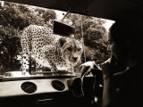 Sikuku the Cheetah Peers into a Car at Woburn Wild Animal Kingdom Bedfordshire, July 1970 Fotografisk tryk