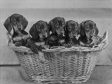 Basket of Puppies Fotografisk tryk af Thomas Fall