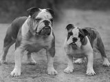 Two Unnamed Bulldogs Stand Together Owned by Green Impressão fotográfica por Thomas Fall
