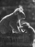 Koala and Her Cub Fotografie-Druck