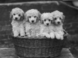 "Four ""Buckwheat"" White Minature Poodle Puppies Standing in a Basket Impressão fotográfica por Thomas Fall"