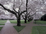 Cherry Blossoms on the University of Washington Campus, Seattle, Washington, USA Photographic Print by William Sutton