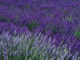 Lavender Fields in Sequim, Olympic Peninsula, Washington, USA Fotografie-Druck von Jamie & Judy Wild
