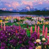 Iris and Lupine Garden and Teton Range at Oxbow Bend, Wyoming, USA Photographic Print by Adam Jones