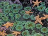 Starfish and Sea Anemones in Tidepool, Olympic National Park, Washington, USA Lámina fotográfica por Gulin, Darrell