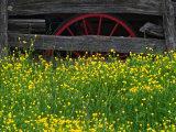 Buttercups and Wagon Wheel, Pioneer Homestead, Great Smoky Mountains National Park, North Carolina Photographic Print by Adam Jones