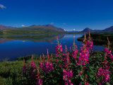 Common Fireweed in the Alaska Range, Alaska, USA Fotografie-Druck von Dee Ann Pederson