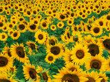 Field of Sunflowers, Frankfort, Kentucky, USA Photographic Print by Adam Jones