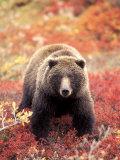 Female Grizzly Bear Foraging Red Alpine Blueberries, Denali National Park, Alaska, USA Premium fotografisk trykk av Hugh Rose