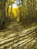 Aspen Tree Shadows and Old Country Road, Kebler Pass, Colorado, USA Fotografie-Druck von Darrell Gulin