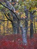 Blueberries in Oak-Hickory Forest in Litchfield Hills, Kent, Connecticut, USA Impressão fotográfica por Jerry & Marcy Monkman
