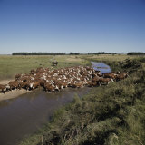 Cattle Herding Argentina Lámina fotográfica