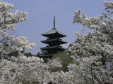 Cherry Blossoms, Ninna-Ji Temple Grounds, Kyoto, Japan Photographic Print