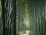 Bamboo Forest, Ginkakuji Temple, Kyoto, Japan Lámina fotográfica