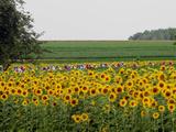 Das Rudel fährt im sechsten Abschnitt der Tour de France an einem Sonnenblumenfeld vorbei Fotografie-Druck