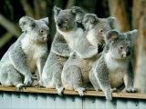 Eine Gruppe Koalas versammeln sich auf einem Zaun Fotografie-Druck