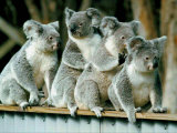 A Group of Koalas Gather Atop a Fence Photographic Print