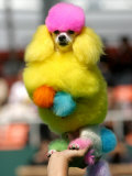 A Poodle Named Peter is Posed on its Owner's Hand During Competition at the World Dog Exhibition Impressão fotográfica