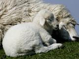 A Lamb Looks for Shelter Aside its Mother Sheep Lámina fotográfica