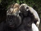 A Baby Gorilla Rests on His Mother Julia's Shoulder Fotografie-Druck