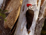 A Male Pileated Woodpecker Looks Around Before Boring into the Trunk of a Dead Pine Reproduction photographique