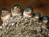 Five Baby Barn Swallows Peer out from Their Nest Reproduction photographique