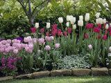 Tulipanes Lámina fotográfica