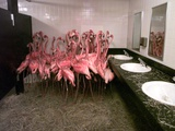Caribbean Flamingos from Miami's Metrozoo Crowd into the Men's Bathroom Impressão fotográfica