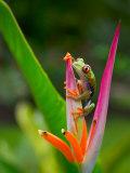 Red-Eye Tree Frog, Costa Rica Fotografisk tryk af Keren Su