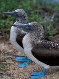 Blue-Footed Boobies of the Galapagos Islands, Ecuador Reproduction photographique par Stuart Westmoreland