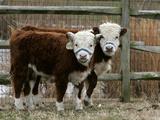 Two Young Cows Graze Lámina fotográfica