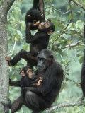 Jane Goodall Institute, Chimpanzees, Gombe National Park, Tanzania Fotografie-Druck von Kristin Mosher