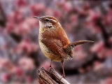 Carolina Wren Reproduction photographique par Adam Jones