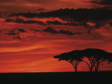 Sunset on Acacia Tree, Serengeti, Tanzania Premium fototryk af Dee Ann Pederson