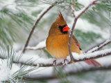 Female Northern Cardinal in Snowy Pine Tree Reproduction photographique par Adam Jones