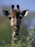 Close-up of Giraffe Feeding, South Africa Fotoprint av William Sutton