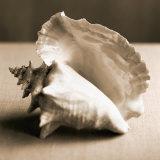 Sea Shells IV Photo