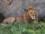 Portrait of Male African Lion, Tanzania Fotografisk tryk af Dee Ann Pederson