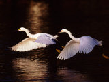 Snowy Egrets in Flight at Dawn Photographic Print by Charles Sleicher
