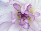 Purple Flower Fotografisk tryk af Michele Westmorland