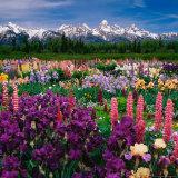 Iris and Lupin Garden, Teton Range Photographic Print by Adam Jones