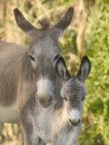 Mother and Baby Donkeys on Salt Cay Island, Turks and Caicos, Caribbean Lámina fotográfica por Walter Bibikow