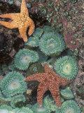 Tidepool of Sea Stars, Green Anemones on the Oregon Coast, USA Fotografie-Druck von Stuart Westmoreland