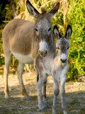 Mother and Baby Donkeys on Salt Cay Island, Turks and Caicos, Caribbean Fotografie-Druck von Walter Bibikow